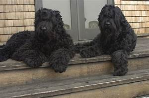 Black Russian Terrier Dogs Wallpapers - HD Wallpapers