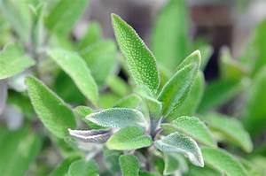 La Sauge Plante : retour l 39 innocence changer de vie herbes et m decine la sauge officinale ~ Melissatoandfro.com Idées de Décoration