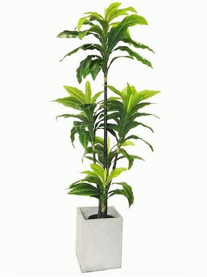 Indoor Plants Solutions Ficus