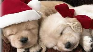 Cute Christmas Puppies Wallpapers HD | I HD Images