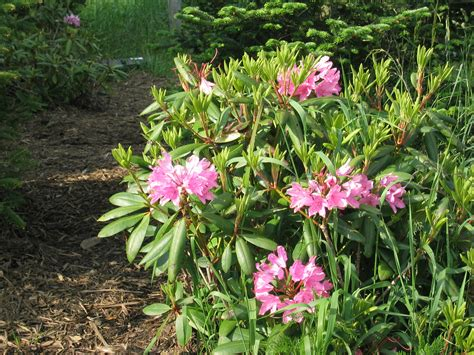 pictures of rhododendron file rhododendron catawbiense jpg wikipedia