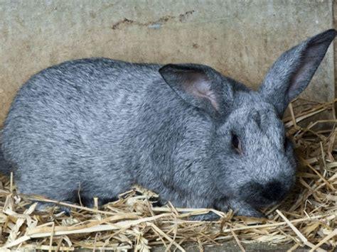 comment 233 lever des lapins