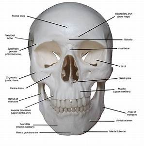 Kreated by Krause: Artistic Anatomy Part 1: Frontal Skull ...