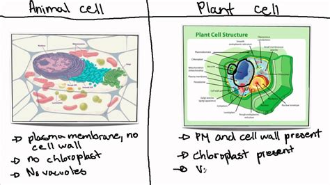 ib biology topic  animal cell  plant cell youtube