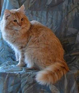 137 best siberian cats images on Pinterest | Kitty cats ...