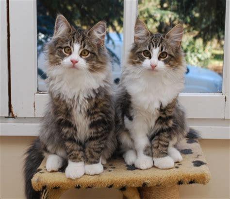 siege de voiture a vendre chatons norvegiens khenghua