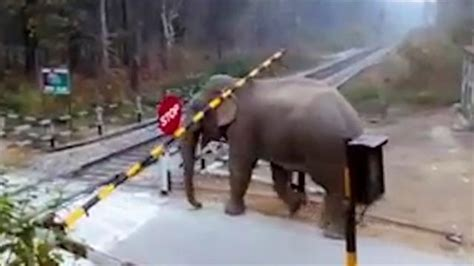 young elephant   surprising railroad crossing