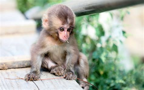 small cute monkey hd wallpapers  mobile phones