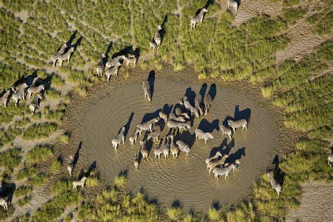 zebra migration  botswanas makgadikgadi pans