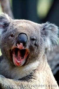 Funny Koala Bear Photos 2011 | Funny Animals