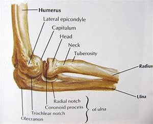 Notes On Anatomy And Physiology  The Elbow