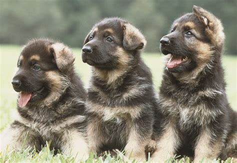 why do german shepherds shed so much hair cuteness com