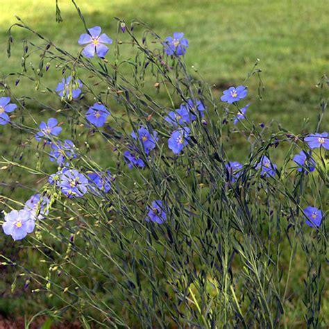 cuisines perenne lewis 39 s prairie flax linum perenne lewisii