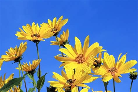 Topinambur  Eigenanbau, Kultivierung & Verwendung Im Garten
