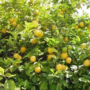 Planter Un Citronnier : citronnier des 4 saisons plantes et jardins ~ Melissatoandfro.com Idées de Décoration