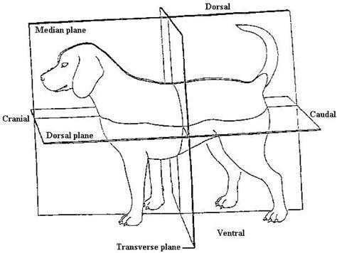 dorsal  sagittal plane clinical anatomy  clinical