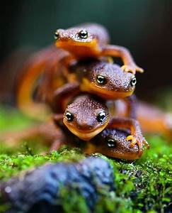 Salamanders | Other Animals | Pinterest