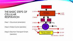 Do Now How Does Our Body Make Energy Ppt Video Online