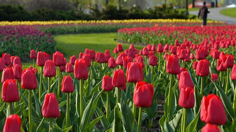tulips festival in usa canadian tulip festival marvel at over a million tulips in may ottawa tourism