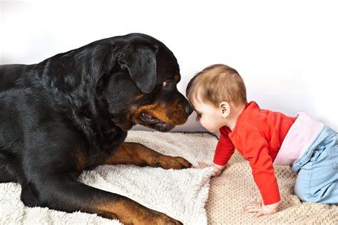 rottweiler training  guide  raising  loyal