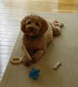Toy Goldendoodle Full Grown Mini goldendoodles