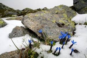 Enzian Schneiden Und überwintern : der winterharte enzian wann ist ein winterschutz n tig ~ Lizthompson.info Haus und Dekorationen