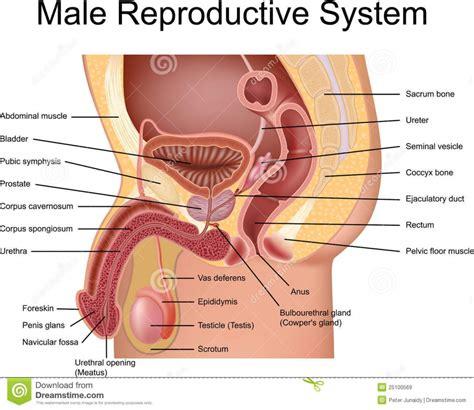 Female Anatomy G Spot Human Anatomy Diagram