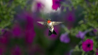 Wallpapers Birds Hummingbird Desktop Background Animal Backgrounds