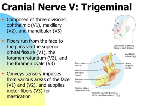 review of the cranial nerves ppt