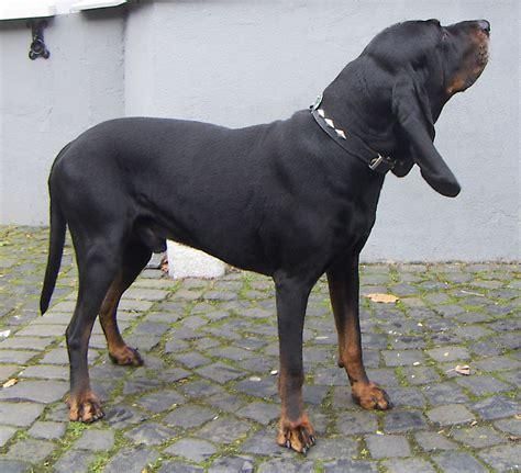 Black And Tanhound