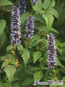 Agastache Scrophulariifolia Floravera