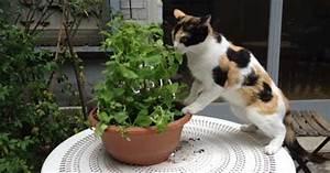 Graine Herbe A Chat : la cataire ou l 39 herbe aux chats a un effet attractif sur les chats ~ Melissatoandfro.com Idées de Décoration