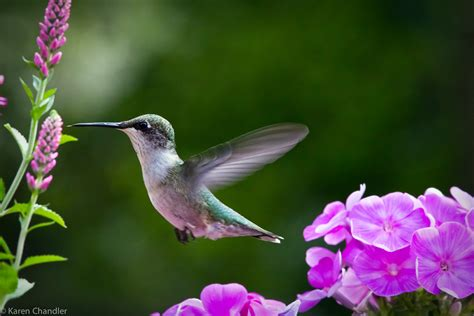 hummingbird flowers 301 moved permanently