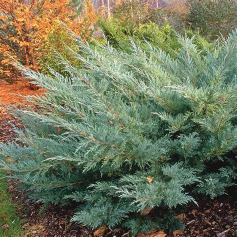 Zemā kalnu priede (Pinus mugo var. pumilio) - Stādaudzētava