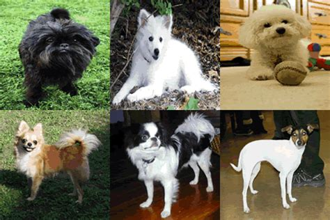 small dog breeds   pounds  fully grown