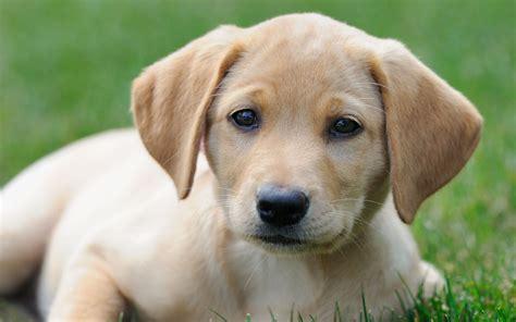 no shed dogs mundelein america s favorite breeds labrador retrievers top the
