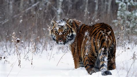 Animals In Snow Wallpaper - tiger snow animals wallpapers hd desktop and mobile