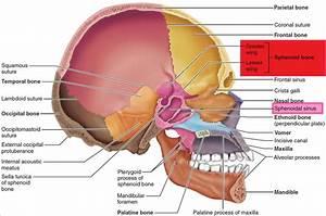 Diagram Of Sphenoid Sinuses