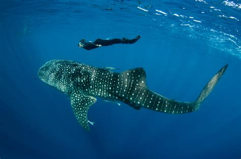 Dive With Whale Sharks Luck Sharks Human Impact Earth Touch News