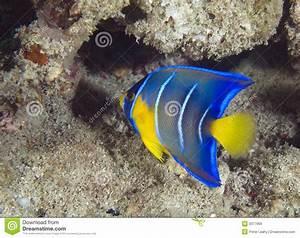 Juvenile Blue Angelfish Royalty Free Stock Images - Image ...