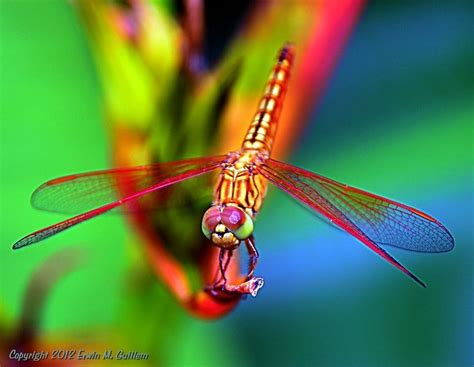 colorful dragonflies google search beauty
