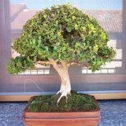 bosso in vaso vaso bonsai schede bonsai vasi di bonsai
