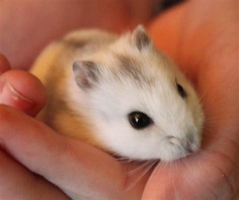 hamster russe ou hamster hiver blanc blog de hamster