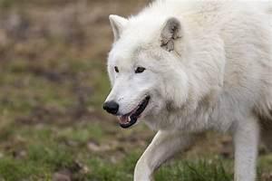 Bébé Loup Blanc : loup arctique taille poids habitat alimentation ~ Farleysfitness.com Idées de Décoration