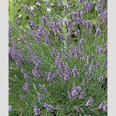 32 Most Fragrant Perennials  Finding Sea Turtles