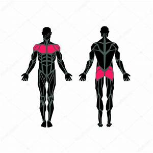 Polygonal Anatomy Of Male Muscular System  Exercise And