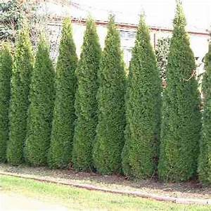 Thuja Smaragd Düngen : thuja occidentalis smaragd growth rate ~ Michelbontemps.com Haus und Dekorationen