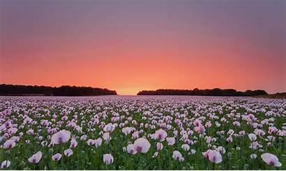 Field Flowers Wallpapers Poppy Flower Laptop 4k