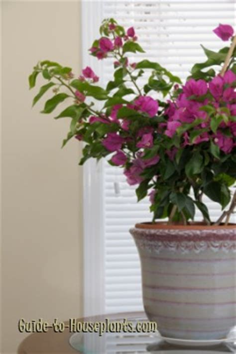 care of bougainvillea in pots bougainvillea plant care bougainvillea glabra