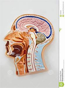 Human Body Model  Brain Anatomy Diagram Stock Image